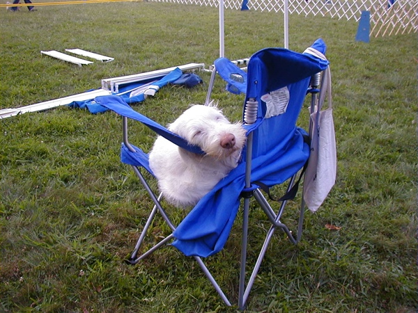 Lily resting at a dog show